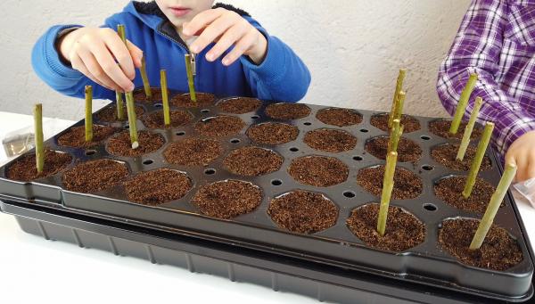 Plantation boutures